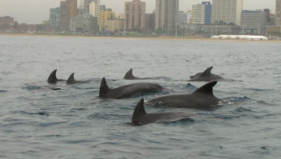 Bottlenose dolphins against the Durban skyline